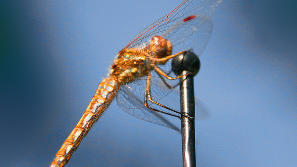Dragonfly on the Mic